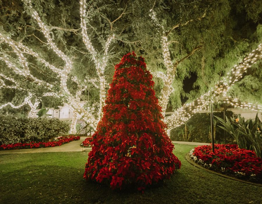 poinsettia tree backlit by large tree wrapped with warm white mini lights