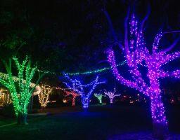 large trees wrapped with purple blue green and white christmas lights